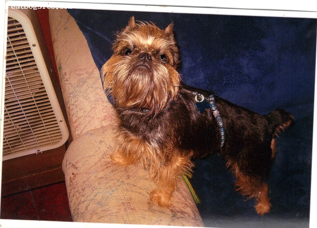 Brussels Griffon, 6 Years old, Tan & Black, Best dog I ever owned. I love this breed!