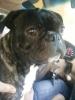 Buggs, 14 months, Brindle