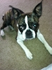 Buggs, 1.5 years old, Brindle