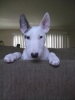 Bull Terrier, 10 months, white w/ brindle on right ear and by right eye.