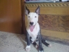 Bull Terrier, 3 months, white and balck