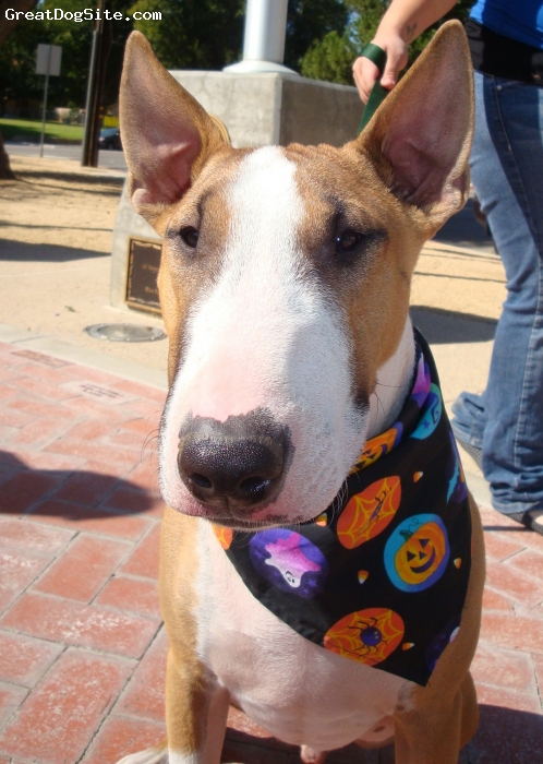 Bull Terrier, 1, tan/white, Tank pretty much chose his own name. when we brought him home at 3 months, he would ram into things head first, he would use his nose aka his beak to knock everything and anything off of tables, nightstands or an flat area. my family nicknamed him Tank the destroyer but when he is in trouble we call him Tankerton.