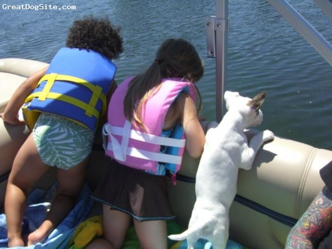 Bull Terrier, 10 months, white w/ brindle on right ear and by right eye., The baby girls on the boat. (Vi was a little pup here)