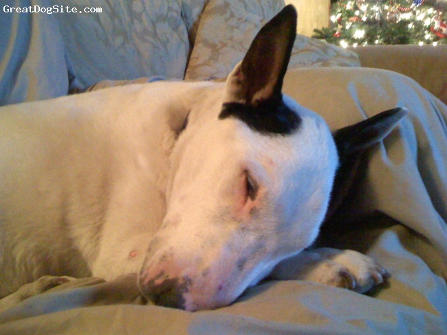 Bull Terrier, 14, white, Last Christmas we had together