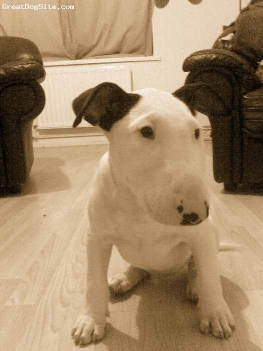 Bull Terrier, 6months, white,black ears, this is my bully,about 4months old in pic.