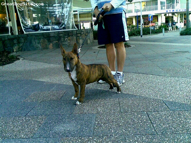 Bull Terrier, 4months, brown brindle, My Trooper