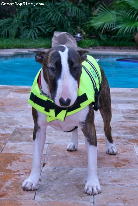 Bull Terrier, 2, Brindle/White, Yoshe wearing her swimvest!