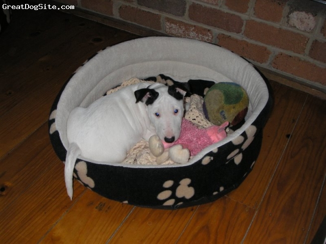 Bull Terrier, 5 months, White, I am the family's little princess. I am a very obedient girl, even though I am young, even though I still misbehave sometimes, but who can resist getting on top of the spa, eating mum's plants or digging holes? Life is full of choices and I make the obvious ones! I am very loved and love playing with my big brother Toro (2y.o. bully).