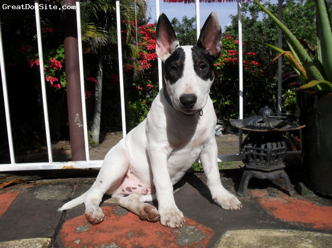 Bull Terrier, 6 weeks, white/black, aaahhh