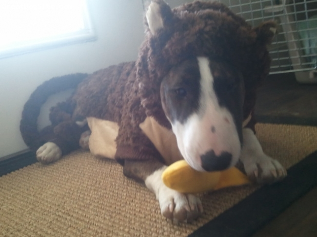 Bull Terrier, 6mths, Brindle, Happy Halloween!