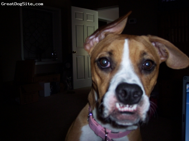 """Bull-Boxer, 1, fawn, Abbie is 3/4 boxer and 1/4 pitbull...a total baby...so goofy and sweet...she loves to play with her best friend, our 8 lb. rat terrier that """"runs"""" the house!"""