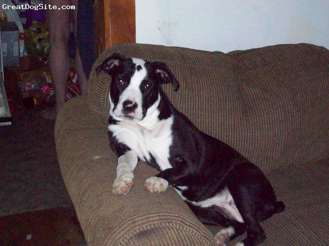 Bull-Boxer, 1 yr, Black and White, MeMe is a very sweet and little girl.  Very loving and very stubborn at same time.  Loves to put herself on her back in a sitting position on the couch.