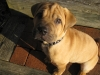 Bull-Pei, 12 weeks, Fawn