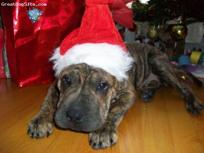 Bull-Pei, 4 months, brindle, Christmas is a hard thing for puppys don't touch...