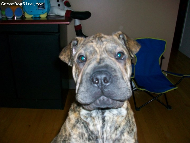 Bull-Pei, 5 months, brindle, Hello, I want to play...