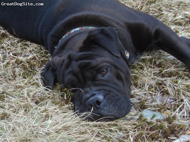 Bull-Pei, 1 year 4 months, Dark brown, black, Resting at the cabin