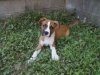 BullBoxer, 12 weeks, Fawn