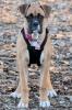 BullBoxer, 15 weeks, Fawn