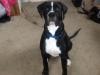 BullBoxer, 6 mois, Noir et blanc