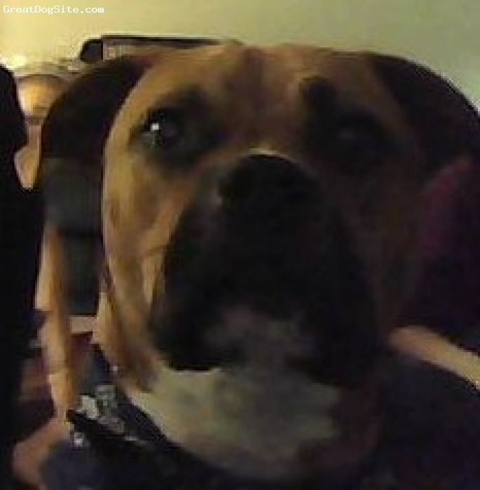 BullBoxer, 2 yrs, red/ white, very well trained and loving breed. rescued from a sheter 2 days before killed