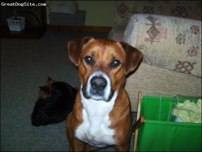 BullBoxer, 5, tan and white, four white paws, white chest  and nose. tan body.