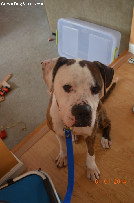 "BullBoxer, 5 yrs, brindle & white, He's about 23"" high at the shoulders & 28"" at the head.  He was underweight when we got him from the animal shelter at only 55 lbs., but has gained weight over the last month.  Should be about 65-70 lbs. by the time he puts on weight as he gets healthier."