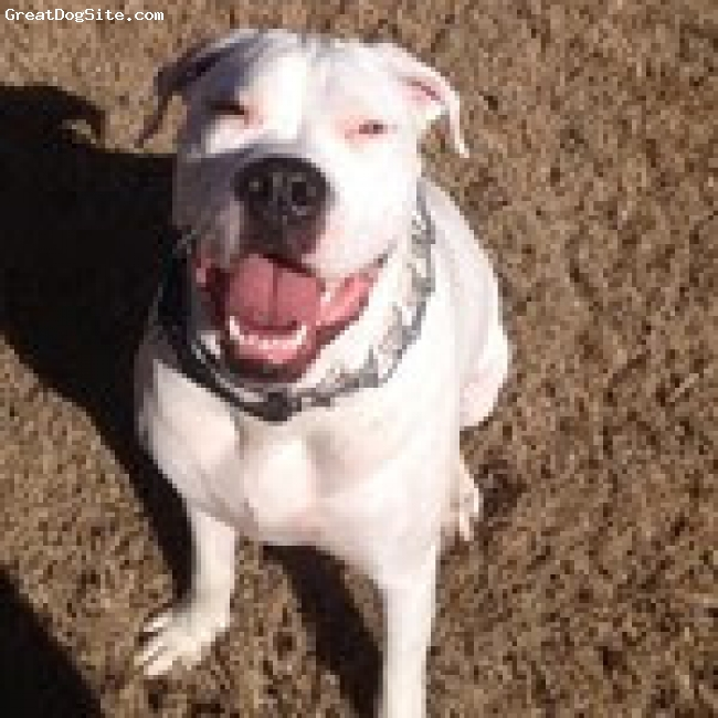 BullBoxer, 2.5, White, 2.5 Year old Male - Southern White American Bulldog Father, Boxer Mother