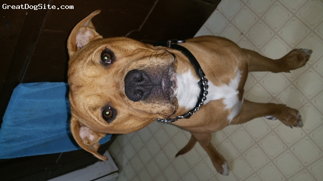 BullBoxer, 10 months old, brown and white, Ace is a mixture of a boxer and pitbull .. he is an amazing dog! Absolutely beautiful, very well tempered, great with kids !!  He's a fairly large dog with tons of energy .. HE IS AN ALL AROUND GREAT DOG !