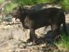 Bullmasador, 4 y/o, black