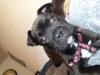 Bullmasador, 8 weeks, black