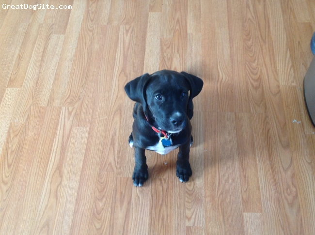 Bullmasador, 3 1/2 months old, Black with white chest, Mia is a mix between a lab and mastiff