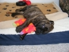 Bullmastiff, 10 weeks, Brindle