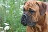 Bullmastiff, 2 years, red