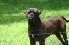 Bullmastiff, 2 years, Fawn Brindle
