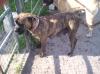 Bullmastiff, 2 years, Red Brindle
