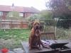 Bullmastiff, 2, red