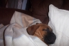 Bullmastiff, 2 mths, Red