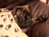 Bullmastiff, 9 months, brindle