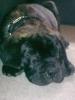 Bullmastiff, 8 weeks, Brindle