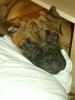 Bullmastiff, 5 months, Red
