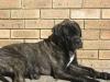 Bullmastiff, 5 months, Brindle