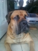 Bullmastiff, 2 years, Fawn
