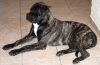 Bullmastiff, 6 months, Brindle