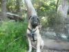 Bullmastiff, 12 weeks, Fawn