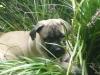 Bullmastiff, 10 Weeks, Fawn