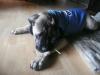 Bullmastiff, 4 Months, Fawn