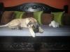 Bullmastiff, 4.5 Months, Fawn