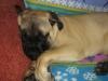 Bullmastiff, 6 Months, Fawn