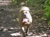 Bullmastiff, 2, Brindle