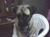 Bullmastiff, 10 month, fawn with black mask